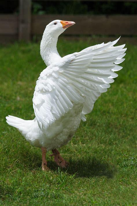 images of geese emden goose