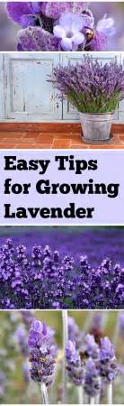 1000 images about lavender on pinterest lavender fields lavender and provence