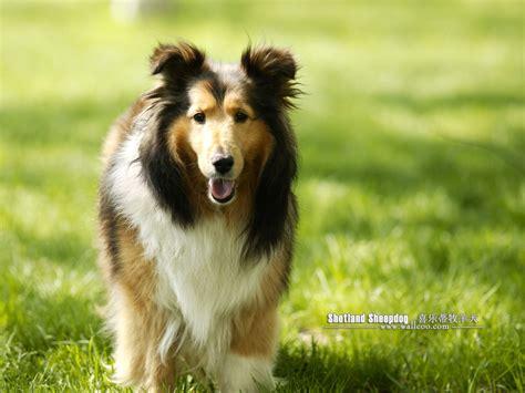 喜乐蒂牧羊犬图片第5450张_喜乐蒂牧羊犬图片 - 中国名犬网