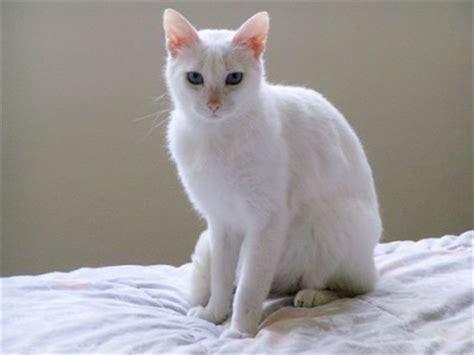 imagenes en blanco de gatos gatos siames blanco www prospectosatuweb com