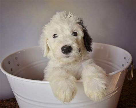 sheepadoodle puppy sheepadoodle puppy cuteness