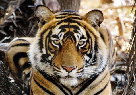traffic wildlife trade news global tiger day 2014