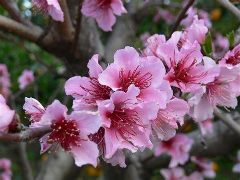 fiore di pesco significato le meraviglie mondo il significato dei fiori fior di