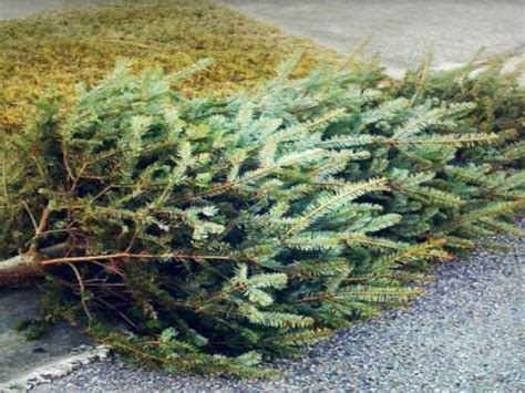how to dispose of your christmas tree in hatboro horsham