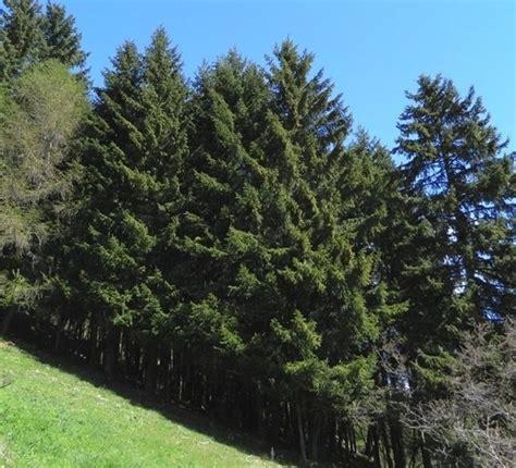 abeti da giardino abete usi alberi abete usi