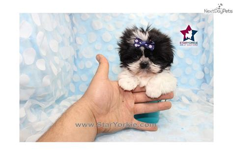 micro teacup shih tzu shih tzu puppy for sale near los angeles california