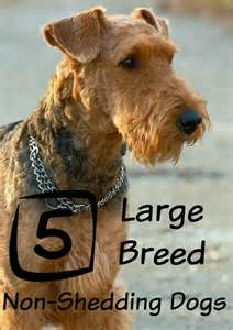 large breeds that don t shed dogvills