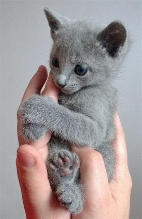 Blue Cats Patchwork - 1000 images about russian blue kittens on