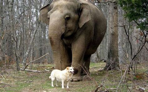 gestation time for dogs impel pregnancy between elephant at the same time accra24 the