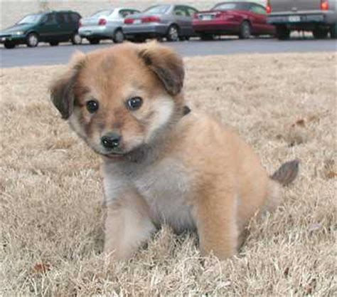 golden retriever chow mix for sale adopt a