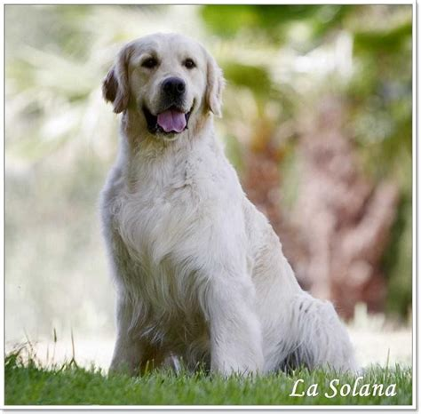 golden retriever precio labrador golden cachorro www pixshark images galleries with a bite