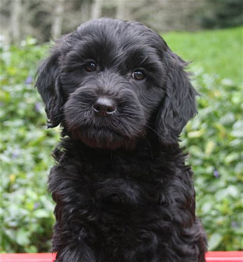 black labradoodle puppies for sale bl ack labradoodle puppy pacific labradoodles