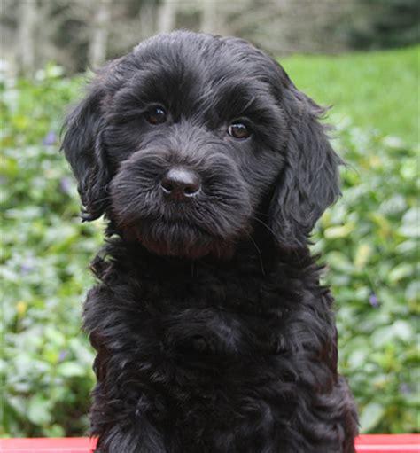 black labradoodle puppy bl ack labradoodle puppy pacific labradoodles