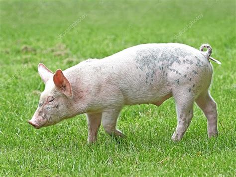 haus schwein domestic ecological pig sus domesticus stock photo