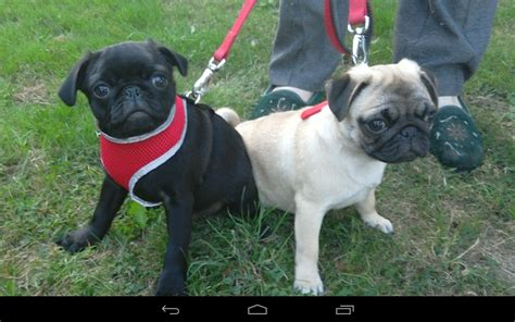 great pug 2 kc registered pug puppies great yarmouth norfolk pets4homes