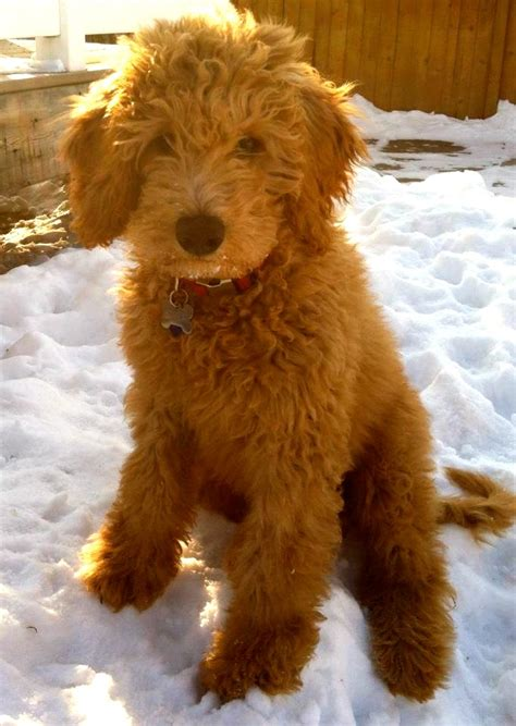 goldendoodle puppy checklist goldendoodle i can t wait to get ours in july