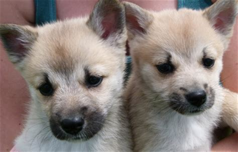 buhund puppies buhund shepherd info puppies pictures