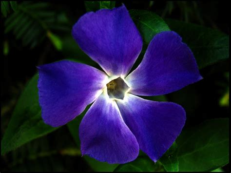 fiori color indaco an even deeper blue my human revolution