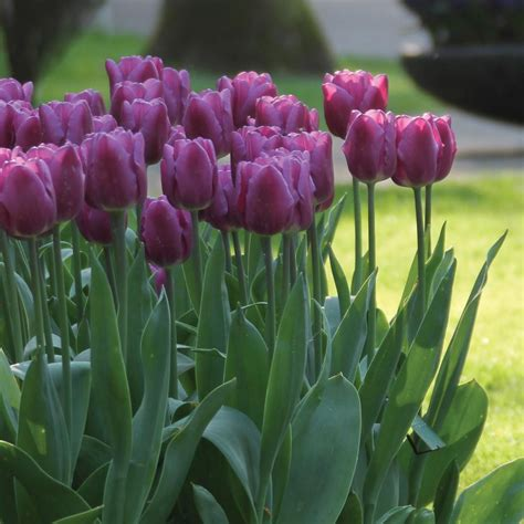 longfield gardens tulip purple lady bulbs 100 pack 12000005 the home depot