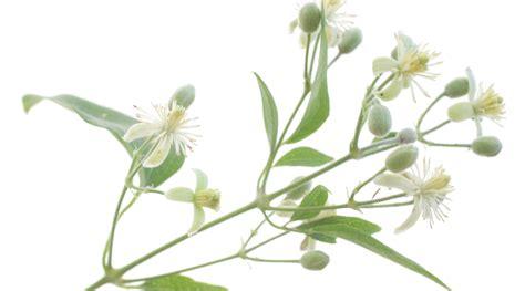 clematis fiore di bach clematis clem 225 tide desarrollo individual terapia