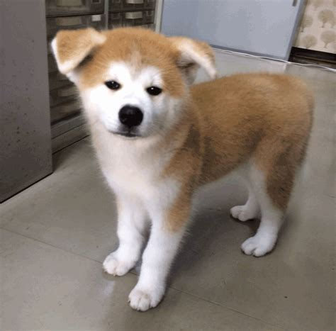 akita inu puppy 8 reasons to the akita inu travel japanese culture