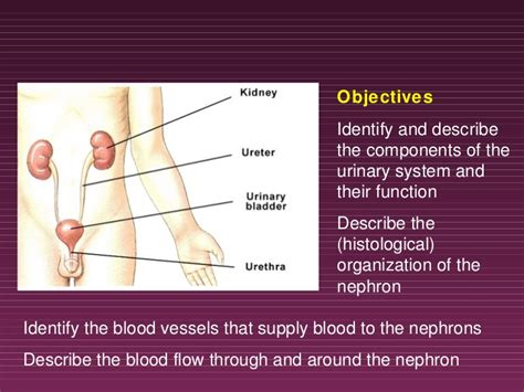 powerpoint templates urinary system free powerpoint templates urinary system images