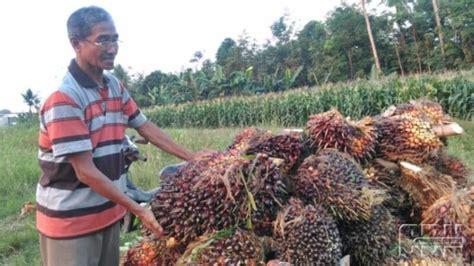 Pupuk Kandang Sapi Untuk Kelapa Sawit alokasi pupuk subsidi kurang petani siasati dengan