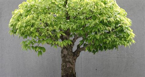 vasi bonsai usati bonsai zelkova attrezzi e vasi per bonsai bonsai