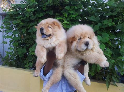 chow chow puppy price chow chow puppies for sale gururajmahadev 1 10974 dogs for sale price of puppies