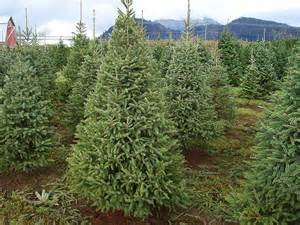 500 white spruce tree seeds picea glauca christmas tree