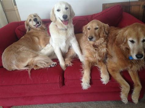can a golden retriever live outside bark busters breed of the month the golden retriever