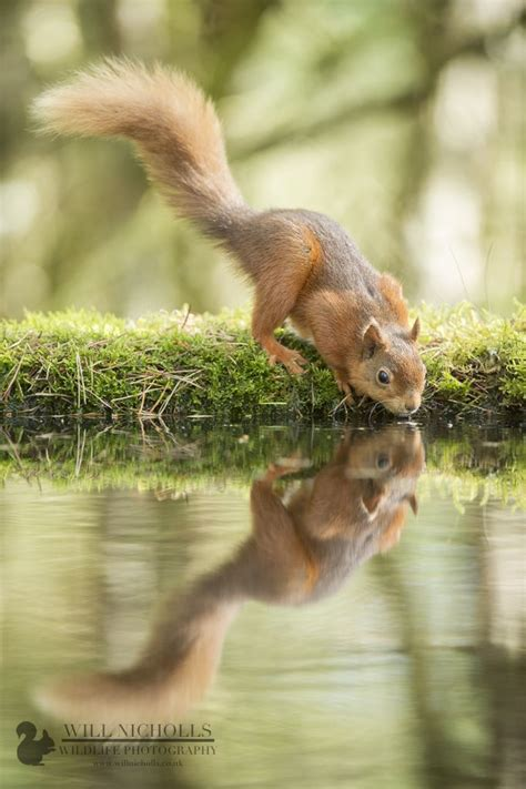 17 best images about squirrels on pinterest autumn