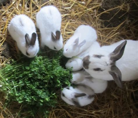 baby bunnies in backyard mother rabbit and her litter backyard rabbits pinterest rabbit and raising rabbits