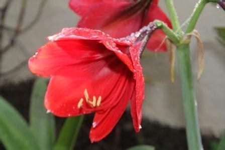 Umbi Amaryllis Amarylis Amarillis Amarilis Merah Marun Besar amaryllis nimadesriandani