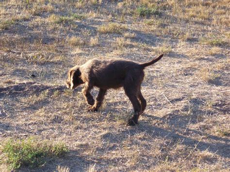 pudelpointer puppies for sale pudelpointer puppies timber pudelpointers