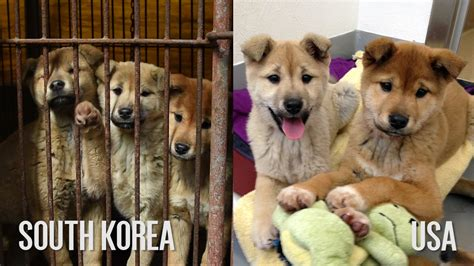 puppy in korean south korea dogs before after