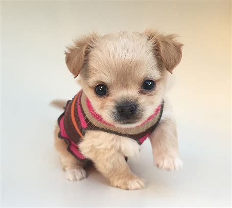chihuahua puppies for sale in california applehead chihuahua puppies for adoption los angeles ca