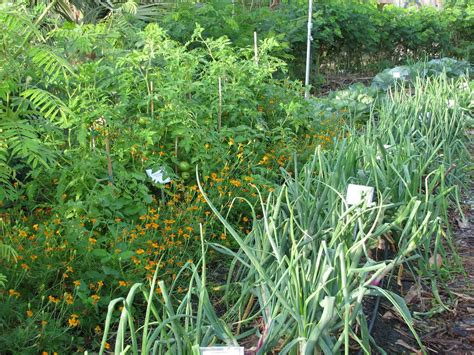 companion plants for organic gardening