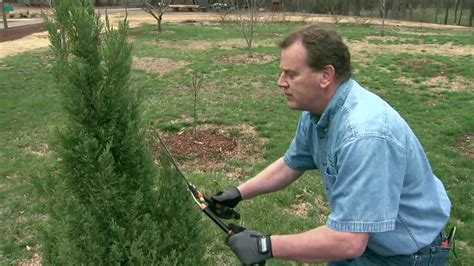 how to trim the back when going for short hair on the sides pruning evergreens into formal shapes youtube