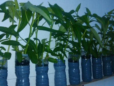 menanam hidroponik botol cara menanam hidroponik kangkung dengan botol bekas dengan