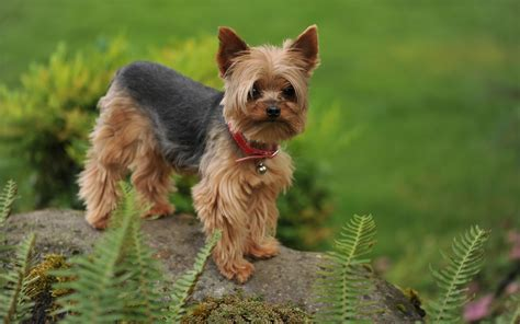 my yorkie puppy terrier my rocks