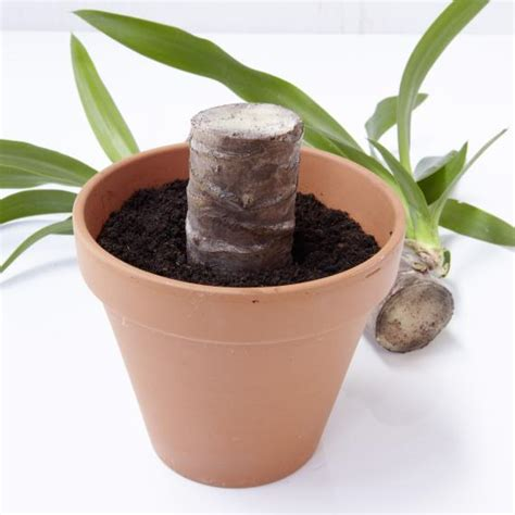 garten yucca schneiden yucca abschneiden und vermehren mein sch 246 ner garten