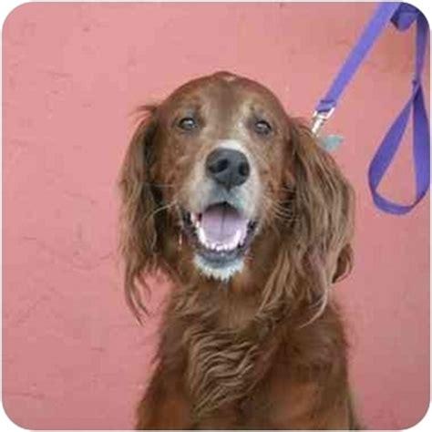 golden retriever puppies for adoption in delhi setter golden retriever mix for adoption breeds picture