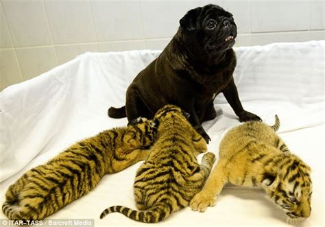 how to raise a pug pugs and raise abandoned tiger cubs