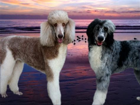 standard parti poodle puppies for sale standard parti poodles standard poodle puppies for sale california