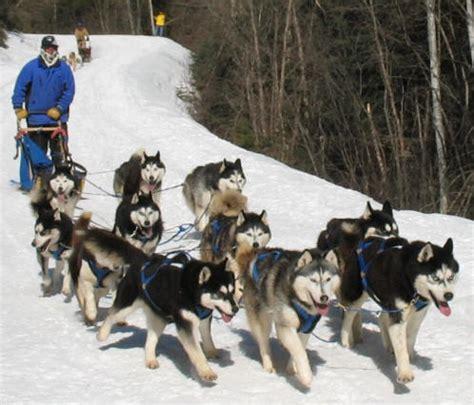sled dogs sled races in polebridge