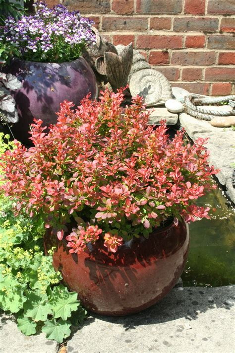 shrubs  tubs planting advice amateur gardening