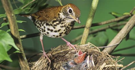 wood thrush raising brown headed cowbird chicks district