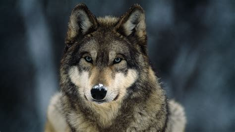 wolf s gray wolf pictures facts and map