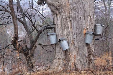 backyard maple syrup backyard maple syrup outdoor goods